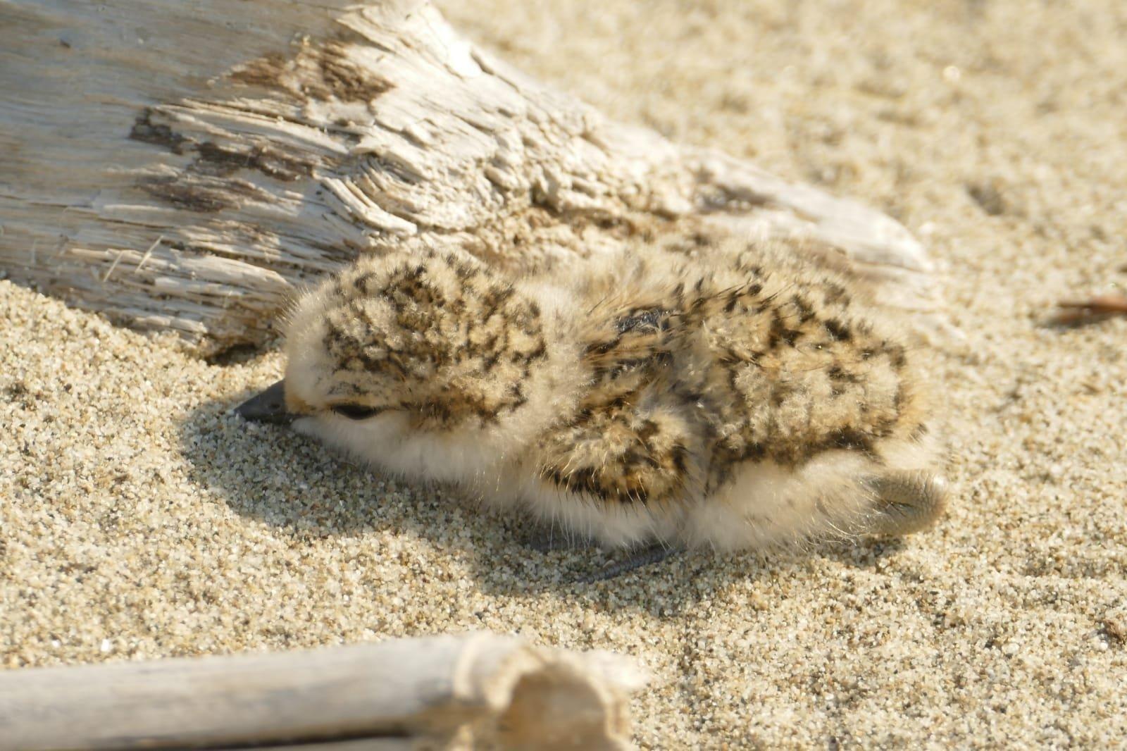 Spiagge del Parco: sono nati tre fratini