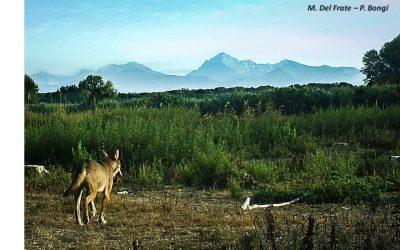 Il lupo trova casa a San Rossore